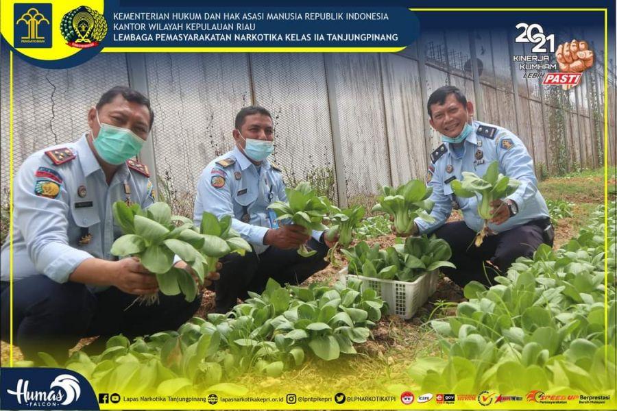 Lapas Narkotika Kelas IIA Tanjungpinang Panen Sawi Hasil Pertanian dari Warga Binaan